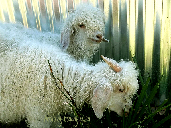 two fluffy goats destroying the garden at the Blue Barn